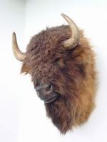2075 buffel kop