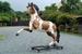 indianen paard model 2570